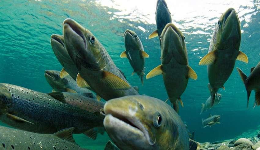 Что полезнее лосось или горбуша