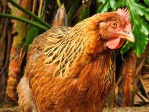 Что полезнее петух или курица